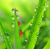 新鲜的早晨露水和瓢虫 免版税库存照片