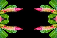 桃红色沙漠座莲的芽 图库摄影
