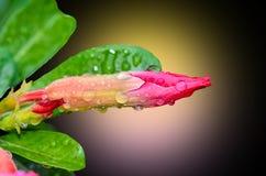 桃红色沙漠座莲的芽 免版税图库摄影
