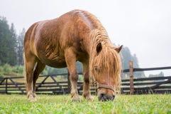 吃草布朗的小马 免版税图库摄影