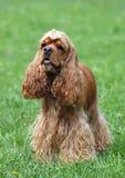 好的美国美卡犬画象 免版税库存照片
