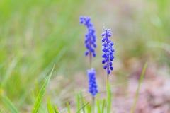 Зацветая цветки виноградного гиацинта Стоковые Изображения RF