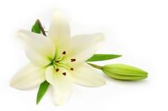 белизна лилии Стоковое Изображение