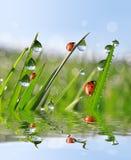 新鲜的早晨露水和瓢虫 图库摄影