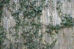 爬行在绿色竹篱芭背景的树 免版税库存照片