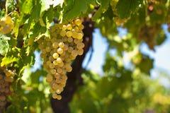 άσπρο κρασί σταφυλιών Στοκ φωτογραφίες με δικαίωμα ελεύθερης χρήσης