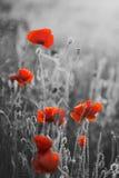 Η κόκκινη παπαρούνα ανθίζει την ημέρα/την Κυριακή ενθύμησης Στοκ Φωτογραφία