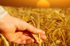 拿着麦子的农夫在日出 免版税库存照片