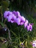 紫罗兰色的兰花 库存照片
