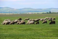 吃草在绿色领域的绵羊 免版税库存照片
