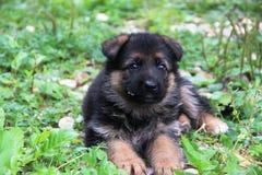 德国牧羊犬小狗 库存图片