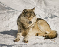 λύκος Στοκ Εικόνα