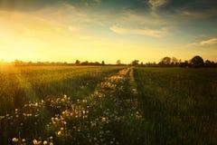 在蒲公英草甸的日落 库存图片