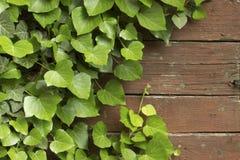 在葡萄酒木头盘区的常春藤上升的树 库存照片
