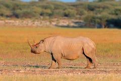 黑色犀牛 免版税库存图片