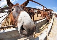 一个驴面孔特写镜头在农场 免版税库存照片