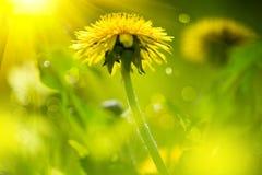 在春天领域的蒲公英花 免版税库存照片