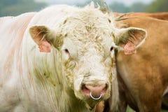 白色公牛在牧场地 图库摄影