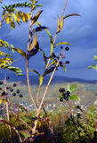 ягоды одичалые Стоковые Изображения