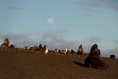 巴塔哥尼亚在海滩的海狮 免版税库存图片