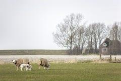 绵羊家庭与吃草在草甸的幼小羊羔的,吃新鲜的春天草 免版税库存照片