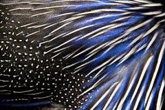 白色和蓝色野鸡羽毛详细的纹理  免版税库存照片