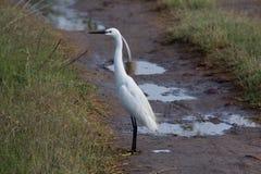 白色小白鹭在农场 库存图片