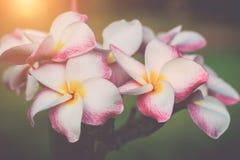白色,桃红色和黄色羽毛赤素馨花开花与叶子 库存图片