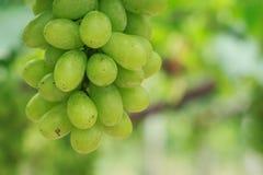 束新鲜的绿色葡萄在葡萄园里 免版税图库摄影