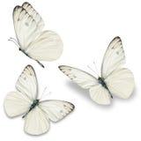 三白色蝴蝶 免版税库存照片