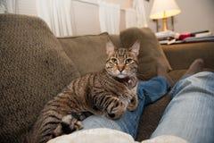 在膝部和长沙发的猫 库存图片