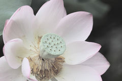莲花开花或荷花开花开花在池塘 免版税图库摄影
