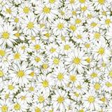 春黄菊无缝的样式 库存照片
