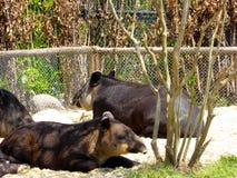 休息在上海野生动物公园的贝尔德的貘 免版税库存照片