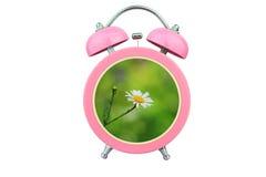 概念性艺术时间放松:在白色背景隔绝的桃红色闹钟内的白色波斯菊花 免版税库存照片
