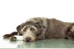 与受伤的腿的哀伤的狗在兽医表上 库存图片