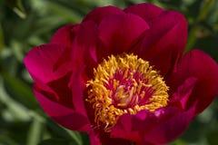 红色庭院牡丹 免版税库存照片