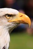 美国鱼鹰眼睛和额嘴 免版税库存图片