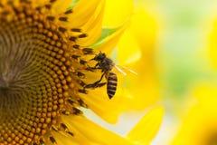 蜂本质夏天向日葵 免版税图库摄影