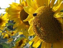 与土蜂的向日葵 免版税库存图片