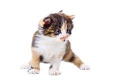 逗人喜爱的三色小猫 免版税库存照片