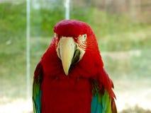 一只红和绿的金刚鹦鹉 免版税库存照片