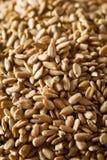 Сырцовые органические, который шелушат семена подсолнуха Стоковые Фотографии RF