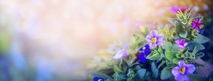 在美好的被弄脏的自然背景,网站的横幅的紫色喇叭花花床有庭院概念的 库存照片