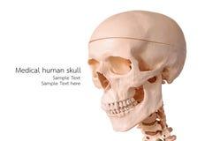 医疗人的头骨模型,使用为教解剖科学 库存照片