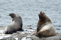 群斯特勒海狮或北海狮在堪察加 库存图片
