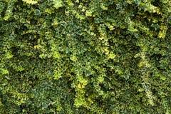 绿色花卉树篱背景 图库摄影