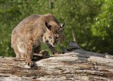 蹲下的美洲野猫 免版税库存图片