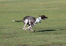 与四个爪子的狗草赛跑 免版税库存图片