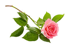 在白色背景的桃红色玫瑰花束 免版税库存照片